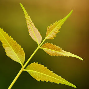 Neem Leaves by Vasanth Photographer - Nature Up Close Leaves & Grasses ( blurred, macro, green, leaf, leaves )