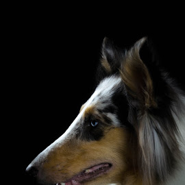 Blue by Christina Smith - Animals - Dogs Portraits ( collie, collie (rough), blue, dog portrait, dog, twisted images photography, profile )