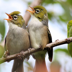 Silvereye .. Summer Fledglings by Phil Le Cren - Animals Birds ( bird, silvereye, reptiles, green, colors, backyard, living creatures, daily life, insects, waxeye, fledgling,  )