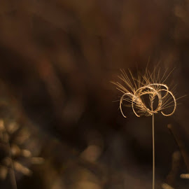 Curly  by Lisa Wilson - Nature Up Close Leaves & Grasses ( curly, dry, winter, drown, golden light )