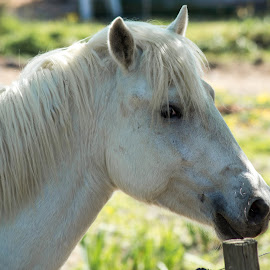 Camargue Horse by Jennette Marty - Animals Horses