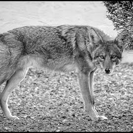 Backyard Coyote by Dave Lipchen - Black & White Animals ( coyote )