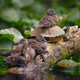 Better View by Lynn Kohut - Animals Birds ( water, florida, wood duck, ducks, turtle, silver river, river )