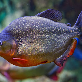 by Jim Jones - Animals Fish ( nature, fish, animal, animals )