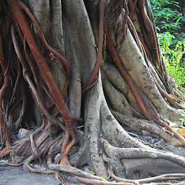 Roots by Carmina Quesada - Nature Up Close Other plants ( plant, nature, roots, trees, earth, close up )