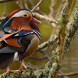 Mandarin Duck by Pat Somers - Animals Birds