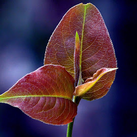 New leaf by Asif Bora - Nature Up Close Leaves & Grasses (  )