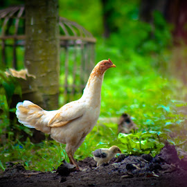 Fresh Morning by Ica Stones - Animals Other ( village, nature, fresh, morning, hen )