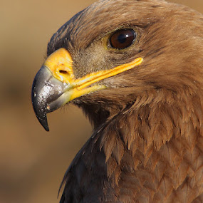 Attitude - Steppe Eagle  by Sharad Agrawal - Animals Birds ( bird of prey, nature, wildlife, raptor )