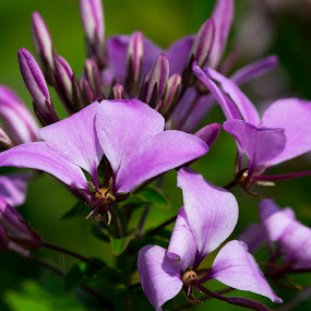 Purple Delight by M.H. O'Dell - Flowers Flower Gardens