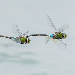 Pale-spotted Emperor (Mating) by Ken Cheung - Animals Insects & Spiders ( insecta, aeshnidae, fly, pwcmovinganimals, dragonfly, odonata, mating,  )