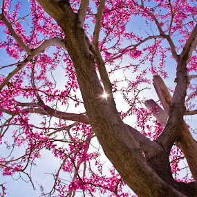 Starring the Eastern Redbud by Billy Brooks - Nature Up Close Trees & Bushes