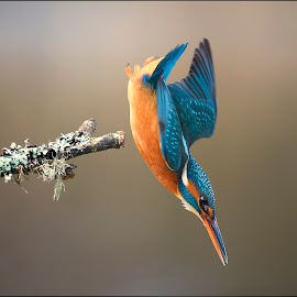 Kingfisher diving by Ita Martin - Animals Birds ( kingfisher )