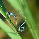 Dramselfly