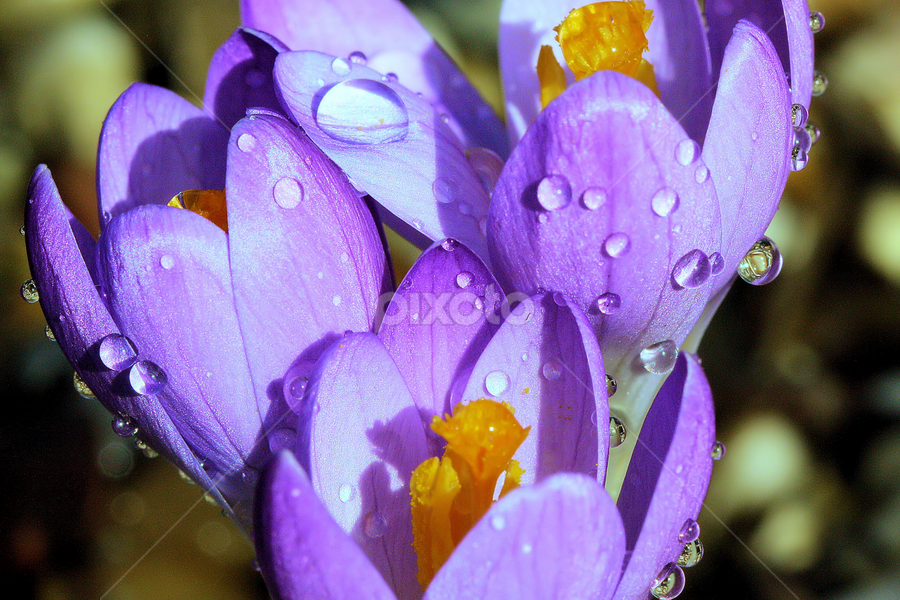 Crocus tommasiniaus 'Barr's Purple', with droplets by Val  Ford - Nature Up Close Flowers - 2011-2013