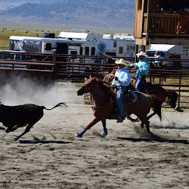 Calf Roping by Alexandria Shankweiler - Sports & Fitness Rodeo/Bull Riding ( rope, dust, calf, horse, action, rodeo, cow, team, dirt, run )