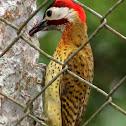 Carpintero Buchipecoso - Spot-breasted ♂Woodpecker