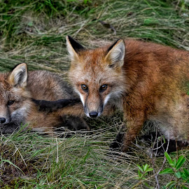 All In The Family by Harold Bradley - Animals Other ( forest, color, pup, foxes, fox, animal, in the wild, animals, adult, family, wild, colorful, wildlife )
