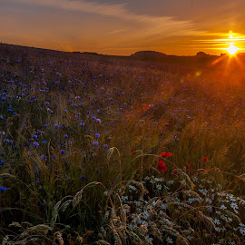 Sitting in the morning sun by Lizzy MacGregor Crongeyer - Landscapes Sunsets & Sunrises ( orange, cornflowers, purple, coulours, grass, green, white, daisies, sun flares, field, red, dawn, nature, summer, poppies, sunrise, flowers, early,  )