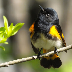 American redstart  by Christiane Ouellet - Animals Birds