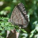 Mariposa sátira