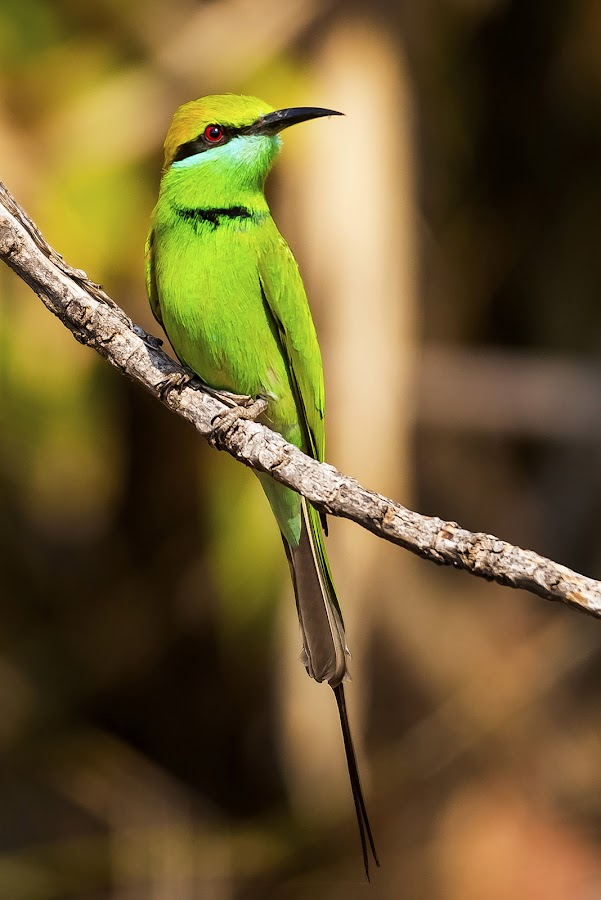 Green Bee-eater by Pravine Chester - Animals Birds ( bird, animals, nature, wildlife, bee eater, birds )
