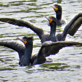 Cormorants by Rita Flohr - Novices Only Wildlife ( water, migration, nature, cormorant, lake, feathers, birds )