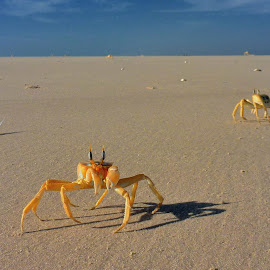 On the beach by Tomasz Budziak - Animals Other ( animals, africa, crab )