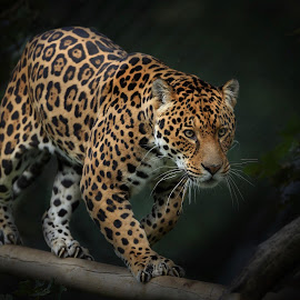 Chincha by Paul Fine - Animals Lions, Tigers & Big Cats ( feline, prowling, predator, endangered, big cats, eyes, jaguar )