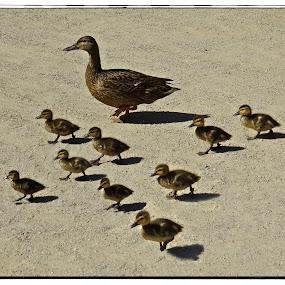 Duck Family by Nancy Young - Animals Birds ( babies, ducks, birds, animal,  )