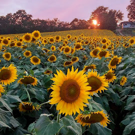 Sunflowers by Karen Carter - Uncategorized All Uncategorized ( sunflowers )