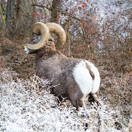 Ram by Denise Johnson - Animals Other ( big horn sheep, mountains, mountain, winter, nature, tree, ram, snow, trees, wildlife, landscape, rocks,  )