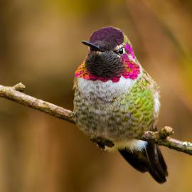 Anna's Hummingbird  by Peter Murphy - Animals Birds
