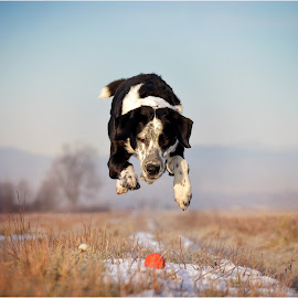 Gotcha! by Maja Lesar - Animals - Dogs Playing ( nikon, ball, slovenia, field, dog, photography, jump )