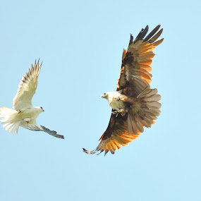fighting by Muhammad Yamani - Animals Birds ( brown eagle, white eagle )