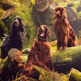 The greatest secrets are always hidden in the most unlikely places. by Ken Jarvis - Animals - Dogs Portraits ( gordon setter, dogs, irish setter, dog portrait, woodland, irish, woods )