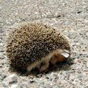 Desert Hedgehog