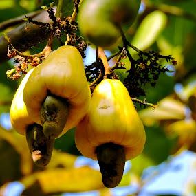 Cashew Nut by Nirabhra Mandal - Nature Up Close Gardens & Produce