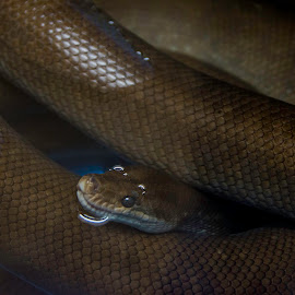 Waitings by Nenad Borojevic Foto - Animals Reptiles