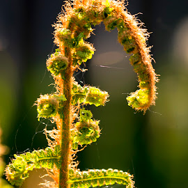 Fern by Darrell Evans - Nature Up Close Other plants ( green, flowers & plants, flora, frond, leaf, outdoor, lamina, pinna, fern, leaves, stalk, shapes, plant, growth, no people, stem )