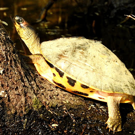 The sun bath! by Prithvi Rajawat - Animals Other ( tortoise, wildlife, turtles, forest )