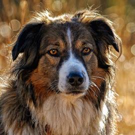 English Shepherd Portrait by Twin Wranglers Baker - Animals - Dogs Portraits