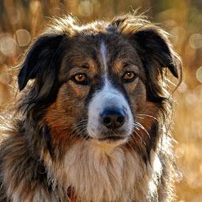 English Shepherd Portrait by Twin Wranglers Baker - Animals - Dogs Portraits (  )