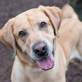 Decon by Jennifer Wollman - Animals - Dogs Portraits ( pet photography, dogs, dog portraits, labrador, yellow lab, animal )