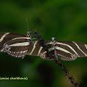 Zebra Heliconian Butterflies