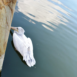 Pelican  by Michele Kelley - Novices Only Wildlife ( bird, novices only, wildlife, pelican, animal )