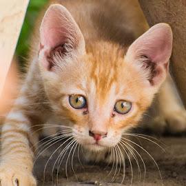 Kitten by Shariq Khan - Animals - Cats Kittens ( small, domestic, kitten, city, alert, cat, animal, eyes,  )