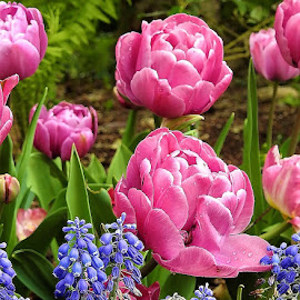 by Mary Gallo - Flowers Flower Gardens ( flowers, tulips, nature, grape hyacinths, nature up close, garden flowers )