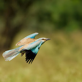EuROller by Srikanth Iyengar - Animals Birds
