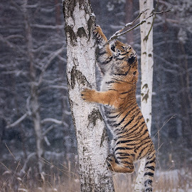 Back to trees by Jiri Cetkovsky - Animals Lions, Tigers & Big Cats ( winter, tree, tiger, snow, ussurian )